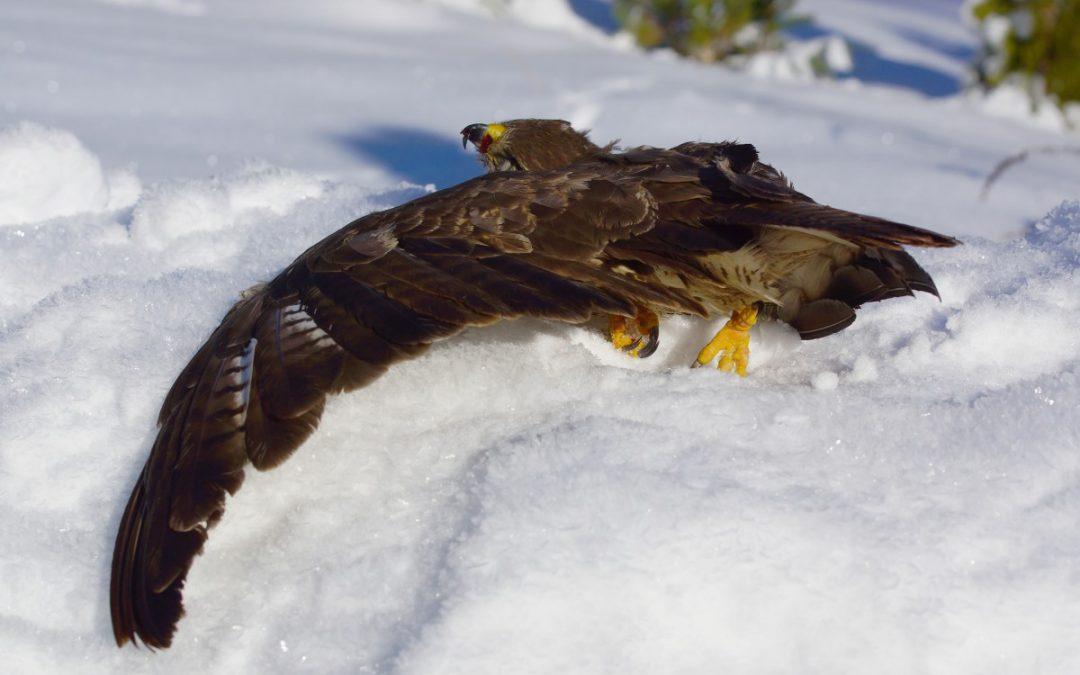 Mehr und mehr Greifvögel verenden qualvoll an den Windriesen: Auch der Mäusebussard ist in vielen Regionen in seinem Bestand gefährdet!