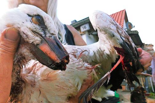 """Weißstorch mit Windkraft kollidiert! – Themenbild """"Vogelmord"""" – SFL 1.12.2019"""